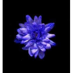 Краска для окрашивания живых цветов, цвет бриллиантовый фиолет, #22, 0,275 л.