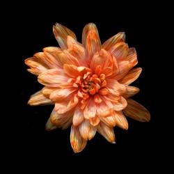 Краска для окрашивания живых цветов, цвет оранжевый огонь, #27, 0,275 л.
